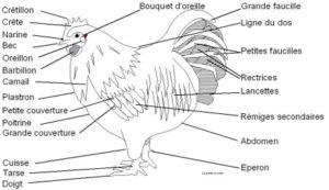 Qu 39 est ce qu 39 une poule jolies plumes et cr tes au vent for Qu est ce que mange une poule