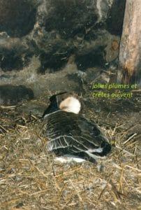 Oie de Guinée 1998