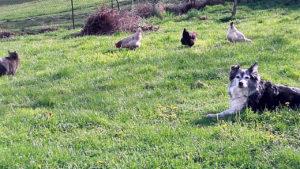 Poules et chat et chien jardin 2017