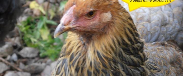 Les poules vous souhaitent une bonne année 2018